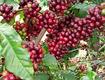 Cà phê hữu cơ giá sỉ tại bình dương