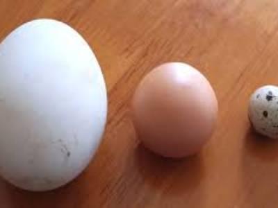 Trứng ngỗng quê, trứng ngỗng sạch 100 6