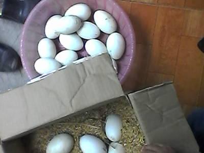 Trứng ngỗng quê, trứng ngỗng sạch 100 10