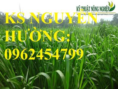 Cung cấp giống cỏ Ubon Paspalum, cỏ chịu ngập, cỏ chịu nước, hạt giống cỏ chịu ngập, giao cây toàn 3