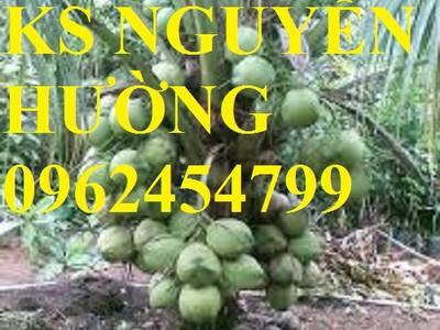 Cung cấp giống cây dừa xiêm lùn, cây dừa xiêm uống nước, dừa xiêm xanh, giao cây toàn quốc 1