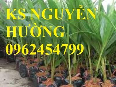 Cung cấp giống cây dừa xiêm lùn, cây dừa xiêm uống nước, dừa xiêm xanh, giao cây toàn quốc 4