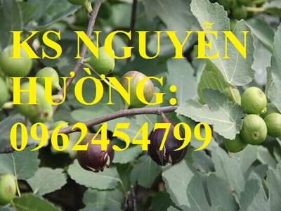 Cung cấp giống cây sung mỹ, sung ngọt, sung đường, cây giống sinh trưởng tốt năng suất cao 3