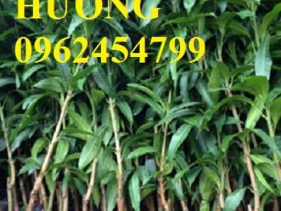 Địa chỉ cung cấp cây giống xoài tím, cây giống ăn quả, giao cây toàn quốc 4