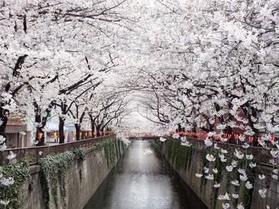 Tour Nhật Bản - Ngắm Hoa anh đào tại Nhật Bản 3