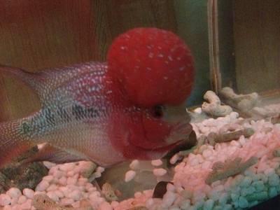 Bán cá la hán thái đỏ đầu khủng dáng short ở ngã tư phúc tăng 2