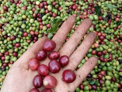 Cà phê Buôn Ma Thuột  cà phê CHỒN cao cấp   500g   Hộp quà tặng, quà biếu 4