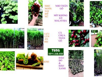 Bán hạt giống cà chua thân gỗ tại Đà Nẵng 1