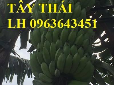 Cung cấp cây giống chuối cấy mô: Chuối tây Thái Lan, chuối mốc thái, chuối xiêm, chuối sứ, uy tín 7