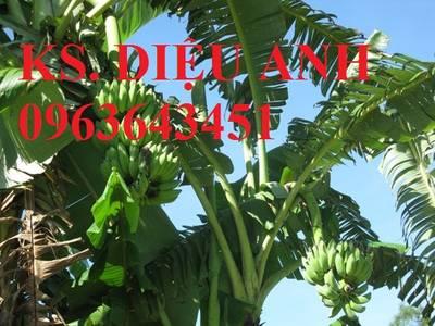 Cung cấp cây giống chuối cấy mô: Chuối tây Thái Lan, chuối mốc thái, chuối xiêm, chuối sứ, uy tín 9