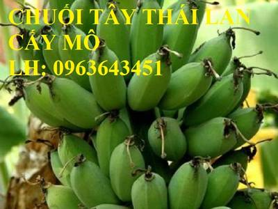 Cung cấp cây giống chuối cấy mô: Chuối tây Thái Lan, chuối mốc thái, chuối xiêm, chuối sứ, uy tín 11