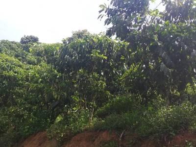 Bán đất đang trồng cà phê và bơ 2