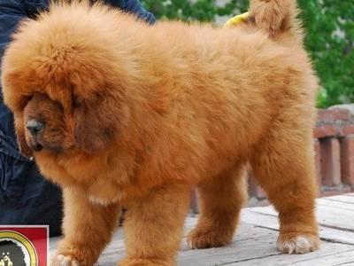 Bán chó Ngao Tây Tạng ở Quảng Ninh 0