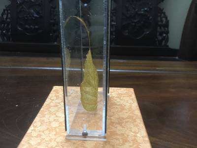 Lá bồ đề được lấy từ cây Đại bồ đề ở đất phật Bodhgaya - DÁT VÀNG 24K 3