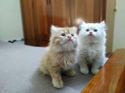 Mèo Ba Tư 2 Tháng Tuổi 0