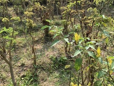 Bán cành lá cây đinh lăng tươi khô 0