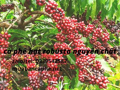 Cà phê hạt Robusta rang mộc pha máy chất lượng thượng hạng 1