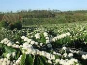 Bán hai vườn rẫy cà phê 4ha 5 ha sổ đỏ đang tuổi thu chính