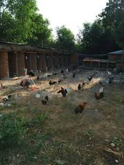 Bán trang trại gà đá
