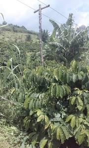 Bán mua rẩy đak nông 10 ha 1.5 tỷ   đất đỏ