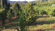Cần bán gấp vườn trái cây tại Hà Lâm Đạ Houai- Lâm Đồng