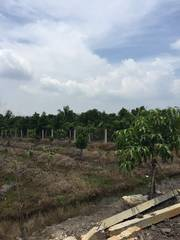 Bán 3600m2 vườn mít đường Sông Lu Xã Trung An Huyện Củ Chi