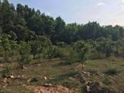 Bán nhanh lô đất rừng thôn khánh xuân,diên lâm đất đã có cây keo sẵng