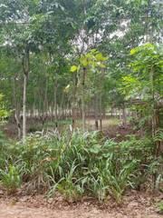 Bán trang trại cao su chính chủ cây được 8 năm tại minh hòa, dầu tiếng, mt đt 749b, lh: