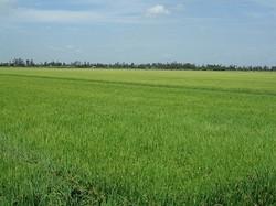 Bán đất ruộng, long xuyên, an giang