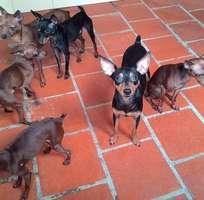 6 Bán và nhận phối giống chó FOX - FOX SÓC - Chihuahua - LẠP XƯỞNG - Poodle Tiny - Poodle Mini Toy - P