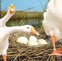Trứng ngỗng quê phục vụ cung cấp chất dinh dưỡng