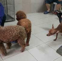 Bán và phối giống chó Fox - Chihuahua - Poodle - Lạp Xưởng - 19