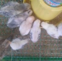 Bán gà Tre tại Thanh Hóa