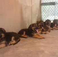 2 Bán Chó BecGie Tại Thanh Hóa