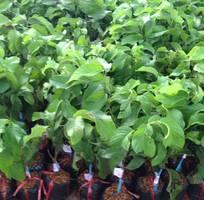 4 Viện cây giống trung ương, na thái lan cung cấp hàng chuẩn giống, cam kết chất lượng.