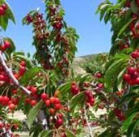 6 Giống cây cherry brazil. cung cấp cây ăn quả nhiệt đới, phù hợp với khí hậu việt nam.