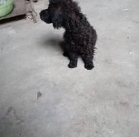 2 Poodle đen giá rẻ