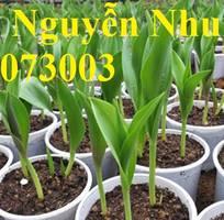 Viện giống cây trồng trung ương cung cấp củ giống Tuylip Hà Lan nhập khẩu uy tín chất lượng