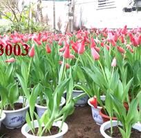 3 Viện giống cây trồng trung ương cung cấp củ giống Tuylip Hà Lan nhập khẩu uy tín chất lượng