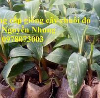 9 Cung cấp chuối đỏ Dacca nuôi cấy mô, số lượng lớn cam kết chuẩn giống cho bà con nông dân