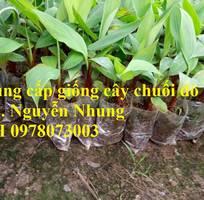 12 Cung cấp chuối đỏ Dacca nuôi cấy mô, số lượng lớn cam kết chuẩn giống cho bà con nông dân