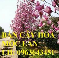 8 Cung cấp cây hoa mộc lan, cây hoa mộc lan đang có hoa, uy tín, chất lượng, giao cây toàn quốc