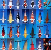 12 Hiện thực hóa giấc mơ nuôi KOI  bể cá di động SONATA chỉ 2888k tặng cá.