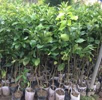 4 Giống Bưởi đỏ, bưởi vàng Phúc Kiến cây giống nhập khẩu cho năng suất kinh tế cao