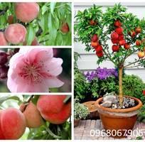 2 Viện cây giống trung ương chuyên cung cấp giống cây đào tiên chịu nhiệt Nhật Bản chuẩn giống