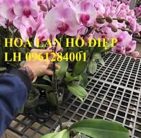 11 Cung cấp Hoa lan hồ điệp chơi tết, hàng loại 1, số lượng lớn, giao hàng toàn quốc