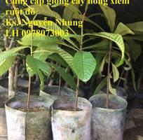 1 Cung cấp giống cây Hồng Xiêm Ruột Đỏ chất lượng cao, cam kết giống chuẩn. Giao hàng toàn quốc