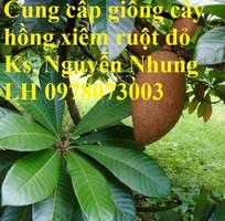 5 Cung cấp giống cây Hồng Xiêm Ruột Đỏ chất lượng cao, cam kết giống chuẩn. Giao hàng toàn quốc