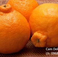 1 Cung cấp giống cam Sumo, cam Dekopon nhập khẩu uy tín