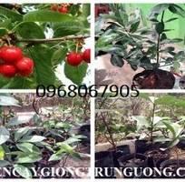 2 Chuyên cung cấp giống cây Cherry anh đào chuẩn giống giao hàng toàn quốc